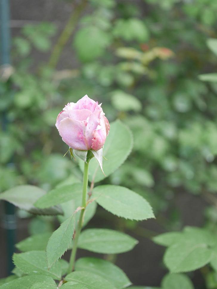 ノヴァーリス(Novalis)の2番花が咲いた。木立バラ。2020年-020.jpg