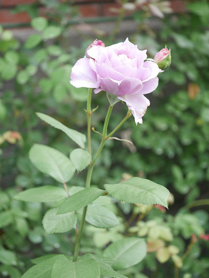 ノヴァーリス(Novalis)の2番花が咲いた。木立バラ。2020年-021.jpg