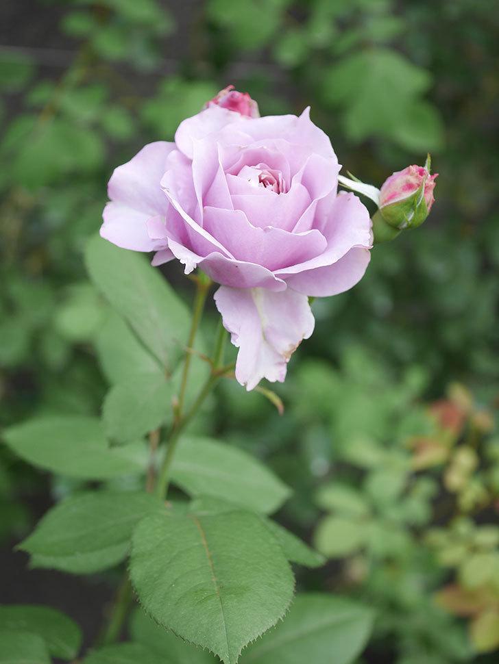 ノヴァーリス(Novalis)の2番花が咲いた。木立バラ。2020年-022.jpg