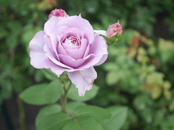 ノヴァーリス(Novalis)の2番花が咲いた。木立バラ。2020年-023.jpg