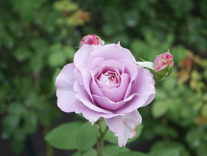 ノヴァーリス(Novalis)の2番花が咲いた。木立バラ。2020年-024.jpg