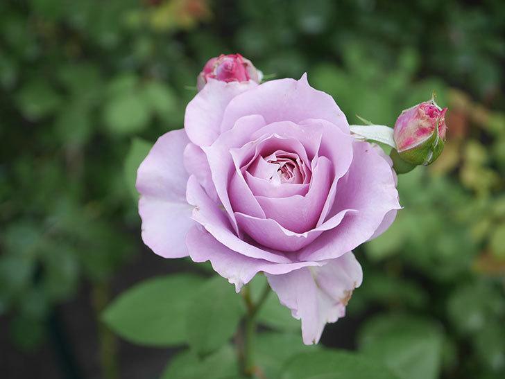 ノヴァーリス(Novalis)の2番花が咲いた。木立バラ。2020年-025.jpg