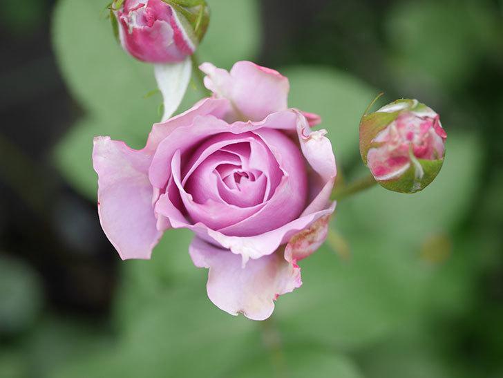ノヴァーリス(Novalis)の2番花が咲いた。木立バラ。2020年-026.JPG