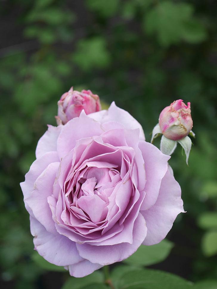 ノヴァーリス(Novalis)の2番花が増えてきた。木立バラ。2020年-001.jpg