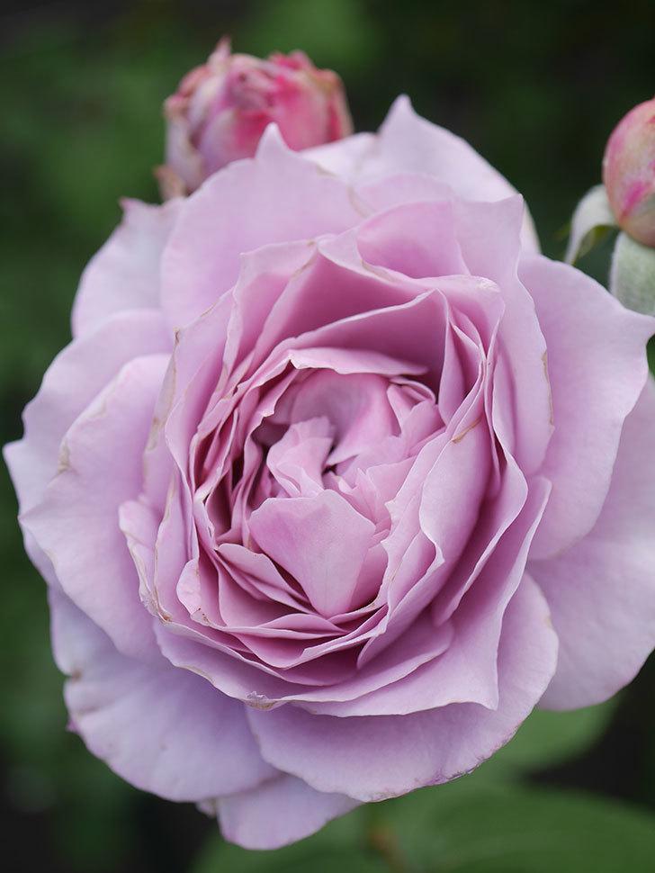 ノヴァーリス(Novalis)の2番花が増えてきた。木立バラ。2020年-002.jpg