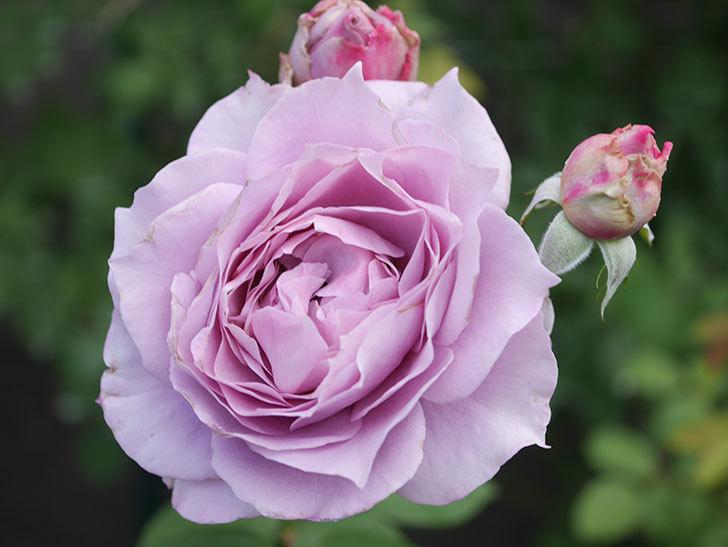 ノヴァーリス(Novalis)の2番花が増えてきた。木立バラ。2020年-003.jpg