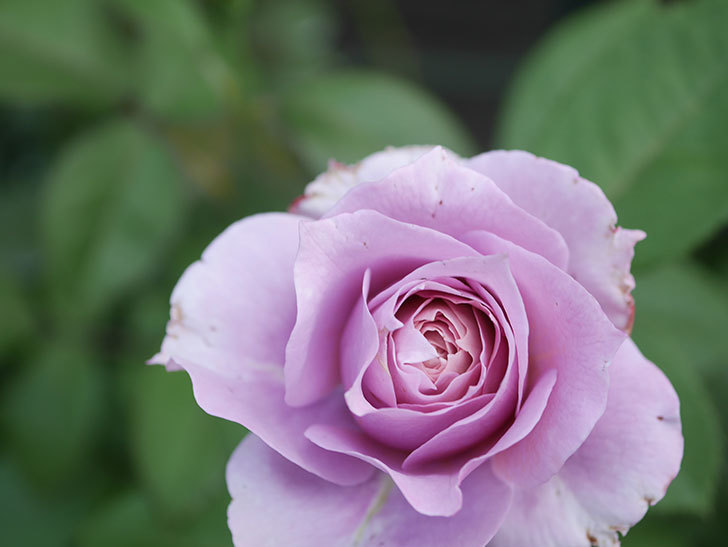 ノヴァーリス(Novalis)の2番花が増えてきた。木立バラ。2020年-005.jpg