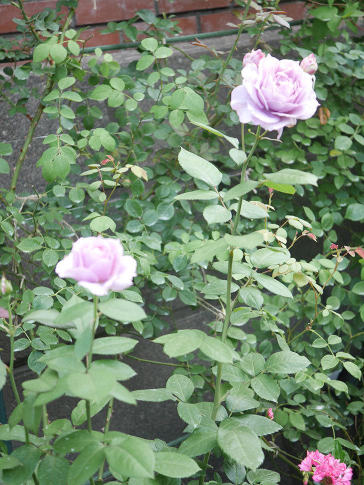 ノヴァーリス(Novalis)の2番花が増えてきた。木立バラ。2020年-006.jpg