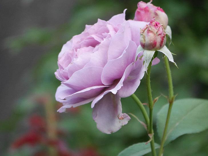 ノヴァーリス(Novalis)の2番花が増えてきた。木立バラ。2020年-008.jpg