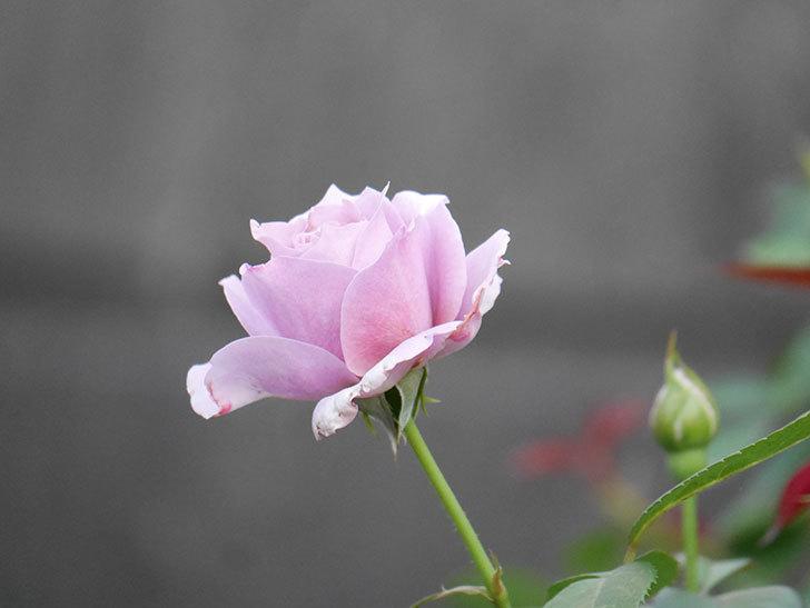 ノヴァーリス(Novalis)の2番花が増えてきた。木立バラ。2020年-009.jpg