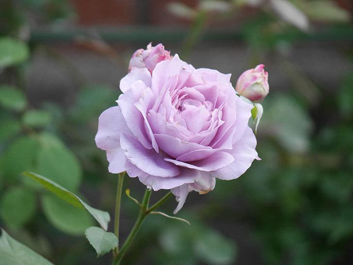 ノヴァーリス(Novalis)の2番花が増えてきた。木立バラ。2020年-010.jpg