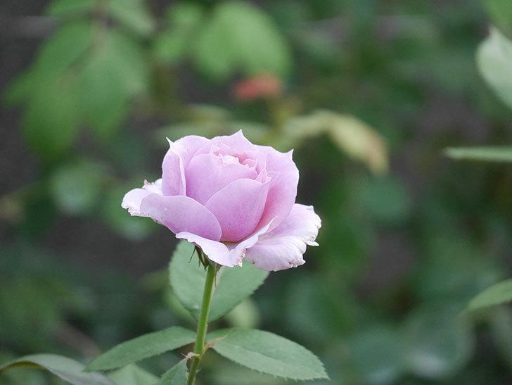 ノヴァーリス(Novalis)の2番花が増えてきた。木立バラ。2020年-011.jpg