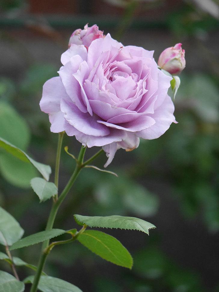 ノヴァーリス(Novalis)の2番花が増えてきた。木立バラ。2020年-012.jpg
