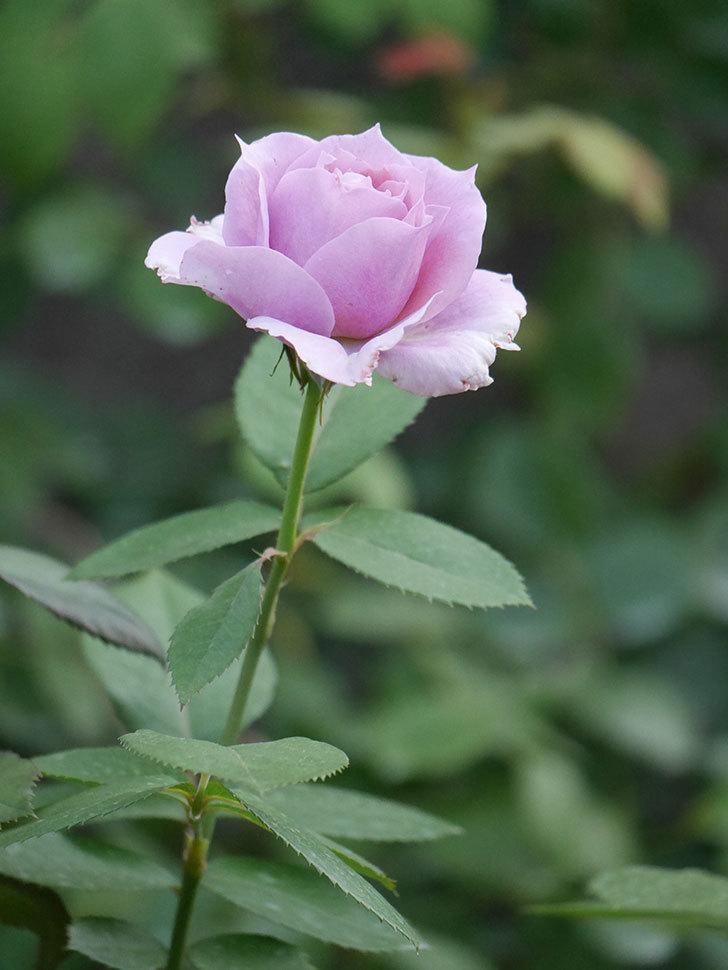ノヴァーリス(Novalis)の2番花が増えてきた。木立バラ。2020年-013.jpg