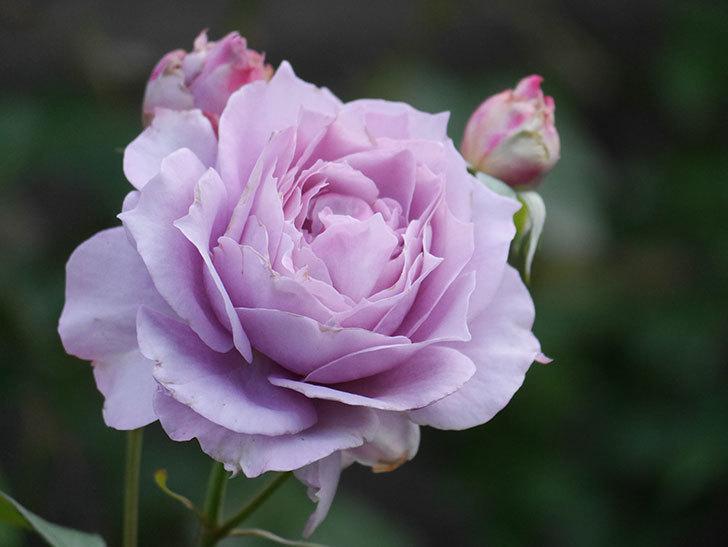 ノヴァーリス(Novalis)の2番花が増えてきた。木立バラ。2020年-014.jpg