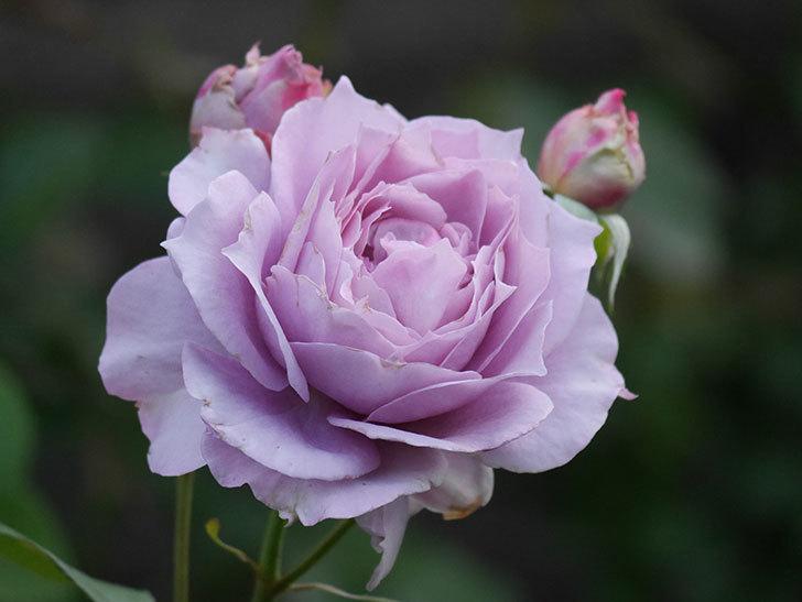 ノヴァーリス(Novalis)の2番花が増えてきた。木立バラ。2020年-015.jpg