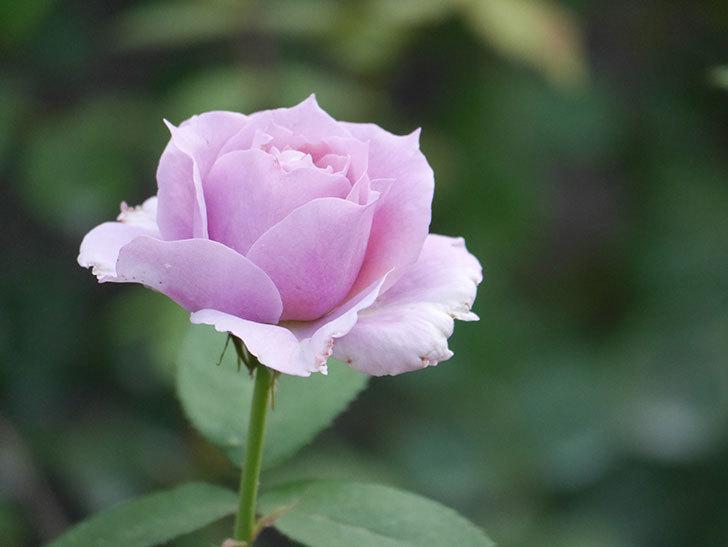 ノヴァーリス(Novalis)の2番花が増えてきた。木立バラ。2020年-016.jpg