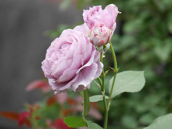 ノヴァーリス(Novalis)の2番花が増えてきた。木立バラ。2020年-017.jpg
