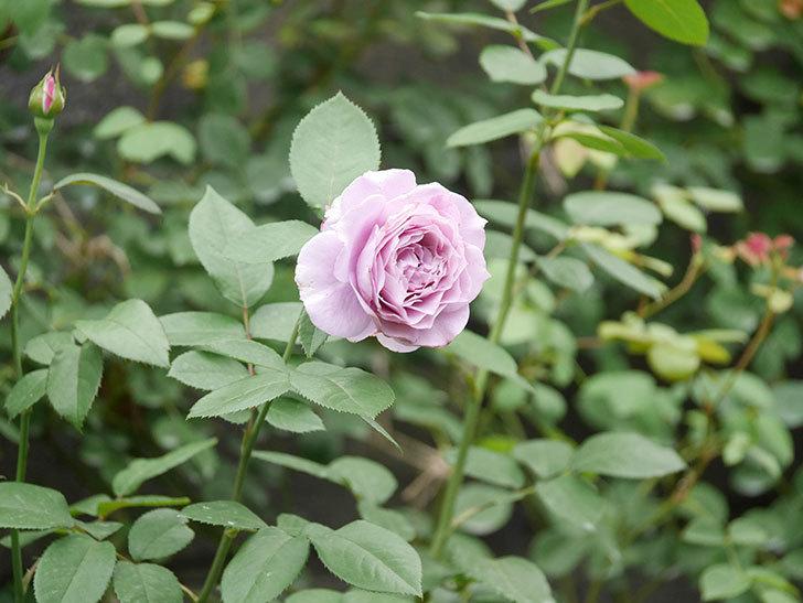 ノヴァーリス(Novalis)の2番花が増えてきた。木立バラ。2020年-018.jpg