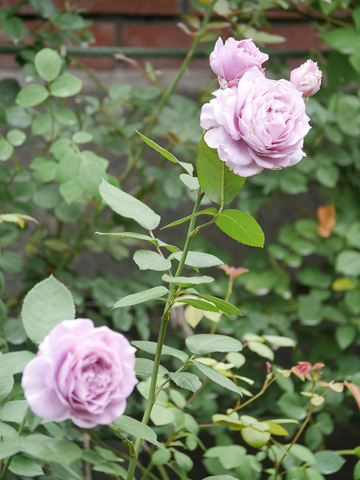 ノヴァーリス(Novalis)の2番花が増えてきた。木立バラ。2020年-019.jpg