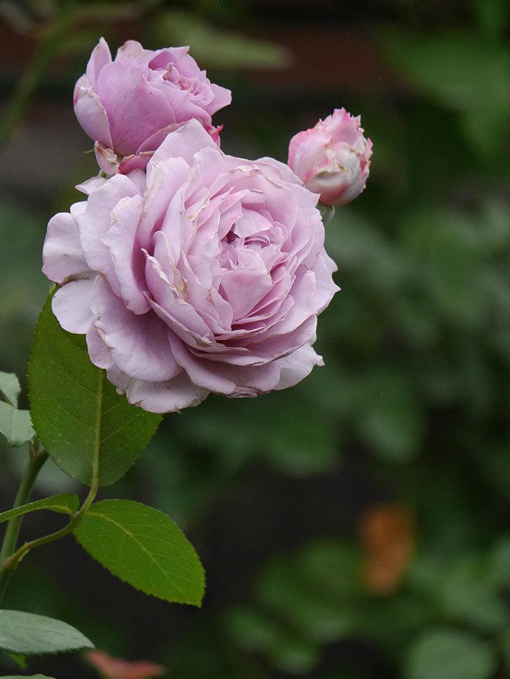 ノヴァーリス(Novalis)の2番花が増えてきた。木立バラ。2020年-020.jpg