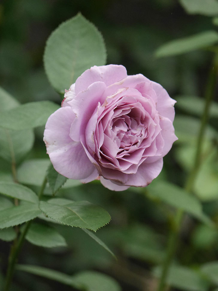 ノヴァーリス(Novalis)の2番花が増えてきた。木立バラ。2020年-021.jpg