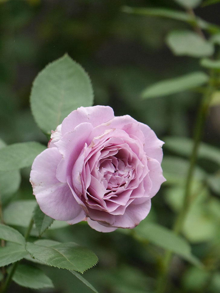 ノヴァーリス(Novalis)の2番花が増えてきた。木立バラ。2020年-022.jpg