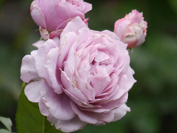 ノヴァーリス(Novalis)の2番花が増えてきた。木立バラ。2020年-023.jpg