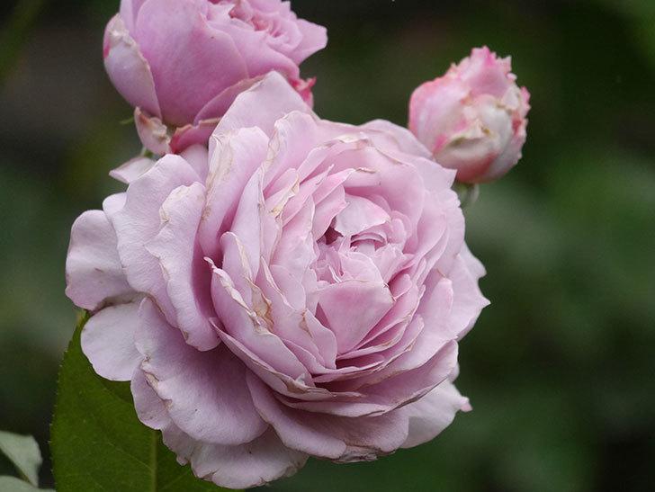 ノヴァーリス(Novalis)の2番花が増えてきた。木立バラ。2020年-024.jpg