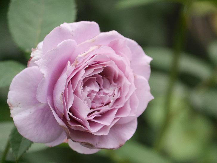 ノヴァーリス(Novalis)の2番花が増えてきた。木立バラ。2020年-025.jpg