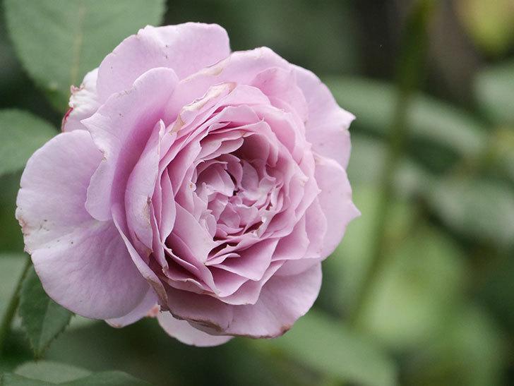 ノヴァーリス(Novalis)の2番花が増えてきた。木立バラ。2020年-026.jpg