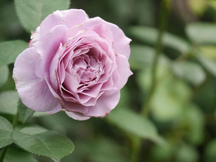 ノヴァーリス(Novalis)の2番花が増えてきた。木立バラ。2020年-027.jpg