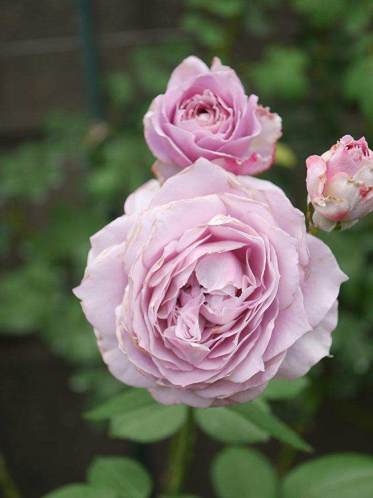 ノヴァーリス(Novalis)の2番花が増えてきた。木立バラ。2020年-029.jpg