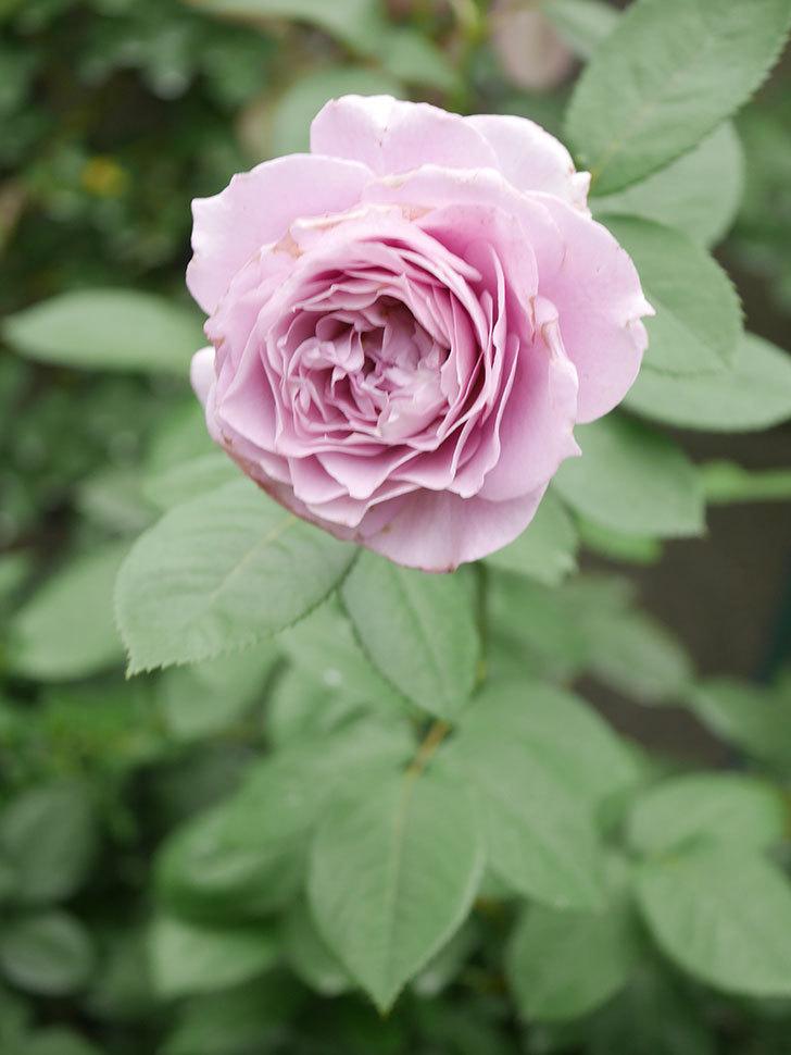 ノヴァーリス(Novalis)の2番花が増えてきた。木立バラ。2020年-031.jpg