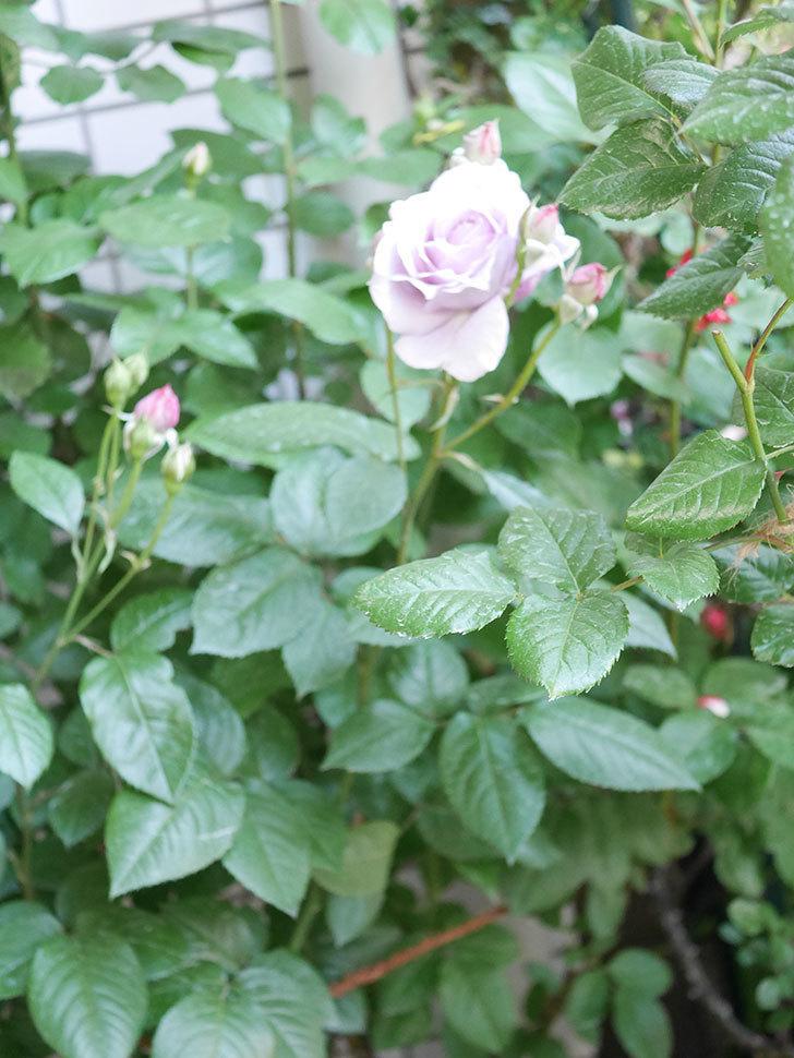 ノヴァーリス(Novalis)の花が咲いた。木立バラ。2021年-001.jpg