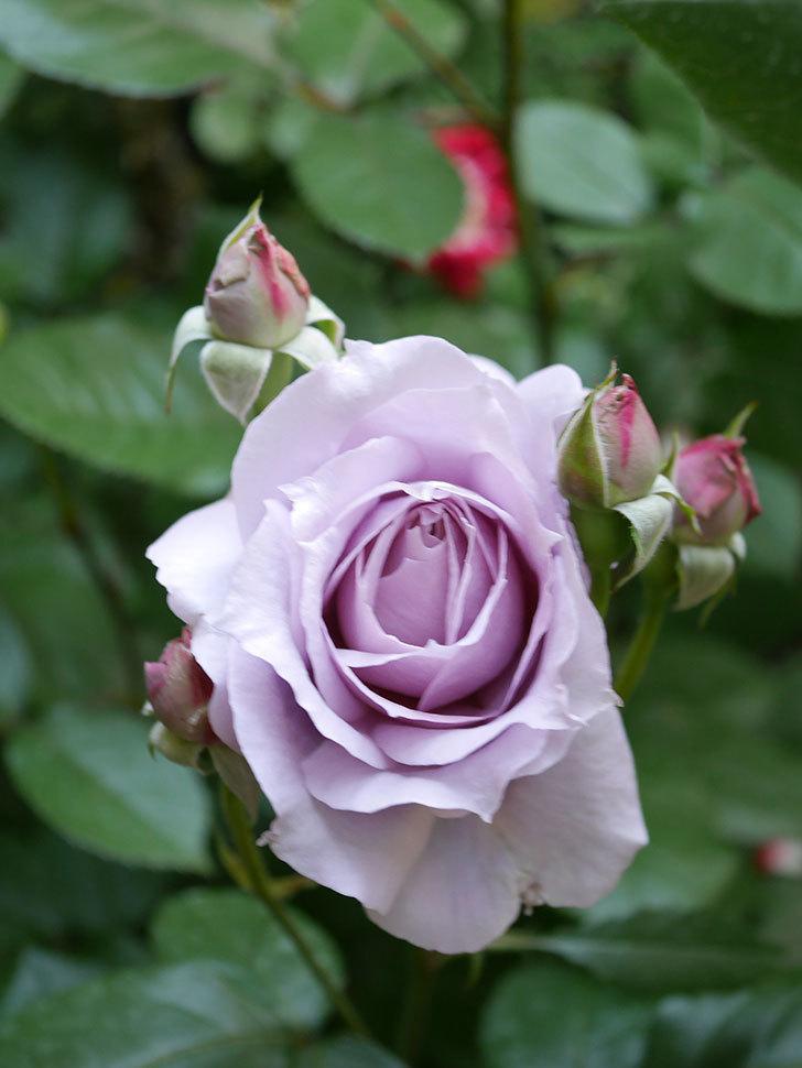ノヴァーリス(Novalis)の花が咲いた。木立バラ。2021年-002.jpg