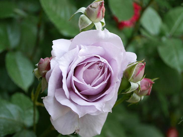 ノヴァーリス(Novalis)の花が咲いた。木立バラ。2021年-003.jpg