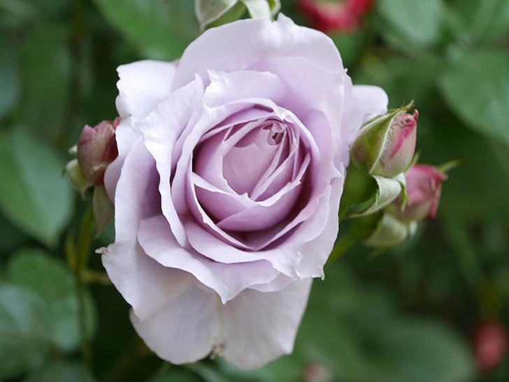 ノヴァーリス(Novalis)の花が咲いた。木立バラ。2021年-004.jpg