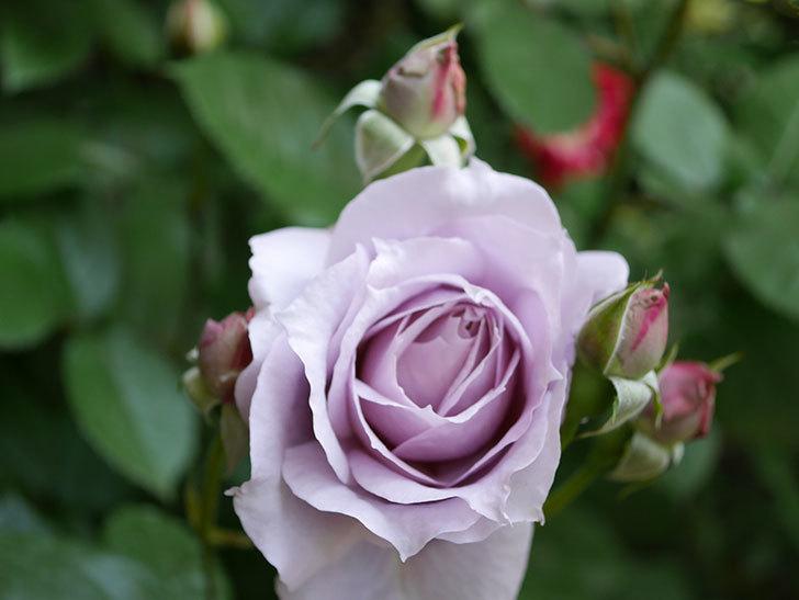 ノヴァーリス(Novalis)の花が咲いた。木立バラ。2021年-005.jpg