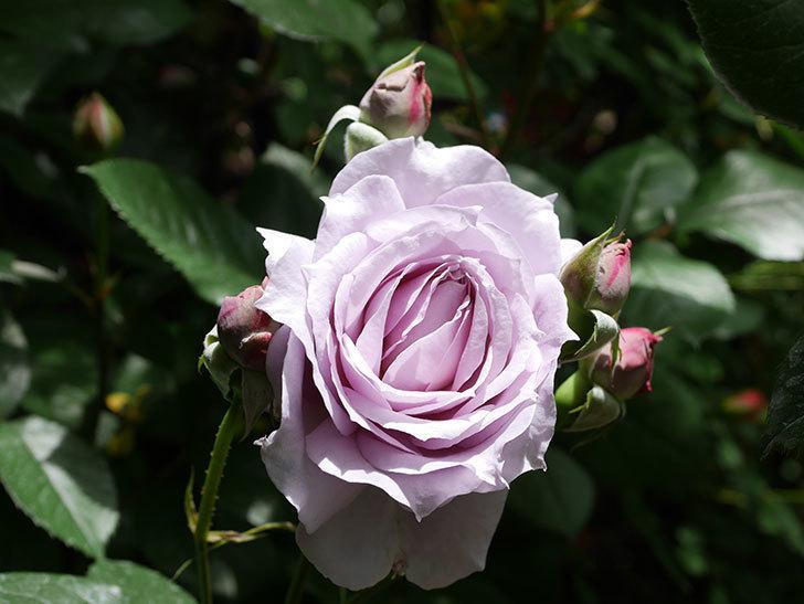 ノヴァーリス(Novalis)の花が咲いた。木立バラ。2021年-006.jpg