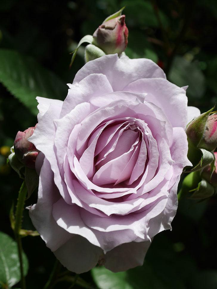 ノヴァーリス(Novalis)の花が咲いた。木立バラ。2021年-007.jpg