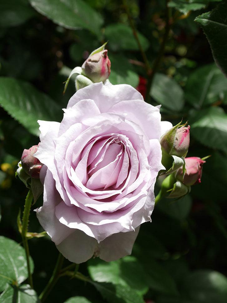 ノヴァーリス(Novalis)の花が咲いた。木立バラ。2021年-008.jpg