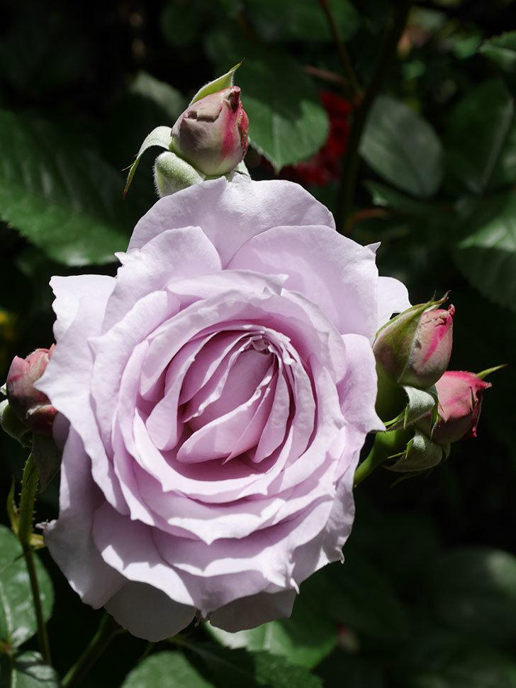 ノヴァーリス(Novalis)の花が咲いた。木立バラ。2021年-009.jpg