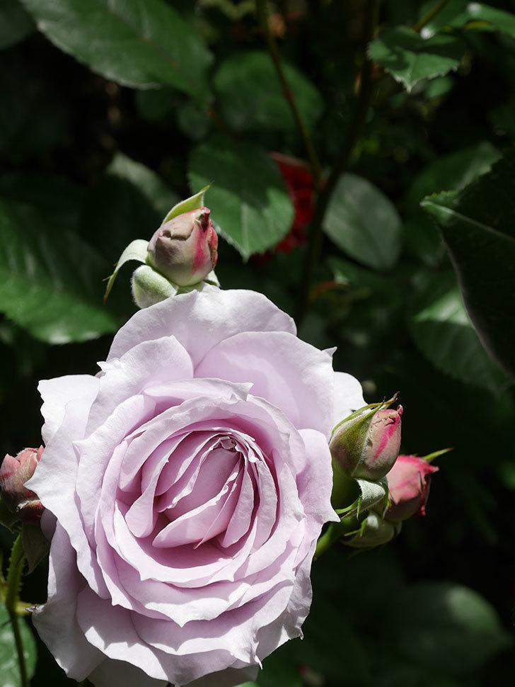 ノヴァーリス(Novalis)の花が咲いた。木立バラ。2021年-010.jpg