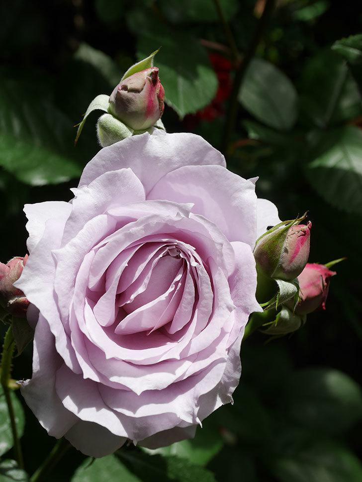 ノヴァーリス(Novalis)の花が咲いた。木立バラ。2021年-011.jpg