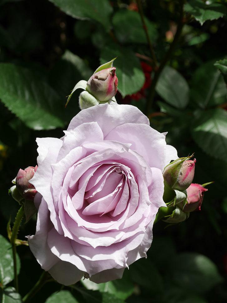 ノヴァーリス(Novalis)の花が咲いた。木立バラ。2021年-012.jpg