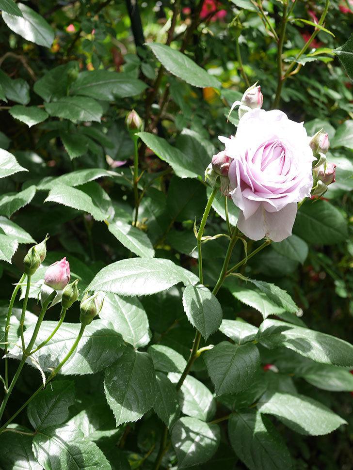 ノヴァーリス(Novalis)の花が咲いた。木立バラ。2021年-014.jpg