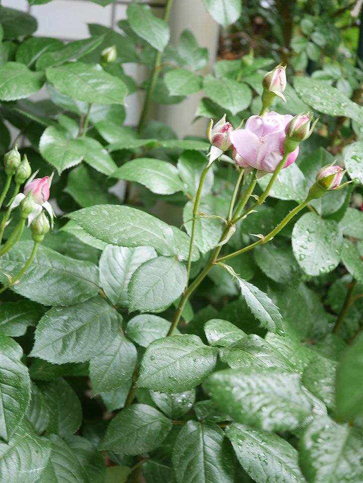 ノヴァーリス(Novalis)の花が少し咲いた。木立バラ。2021年-006.jpg