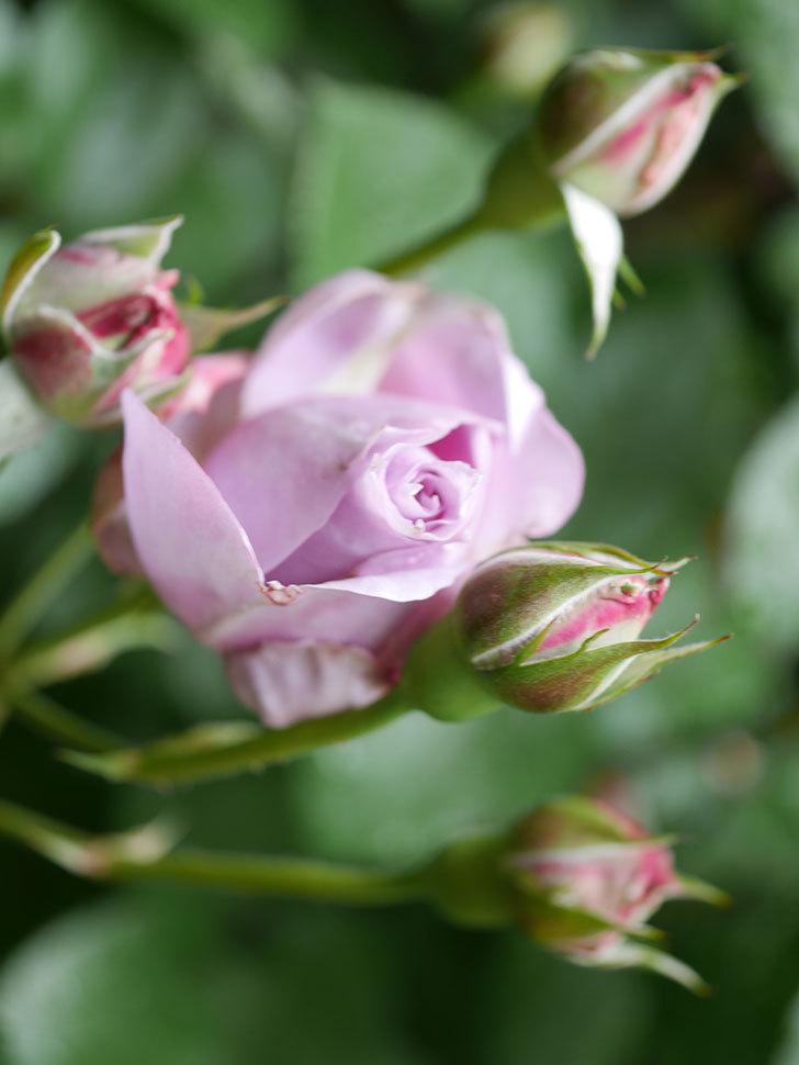 ノヴァーリス(Novalis)の花が少し咲いた。木立バラ。2021年-011.jpg