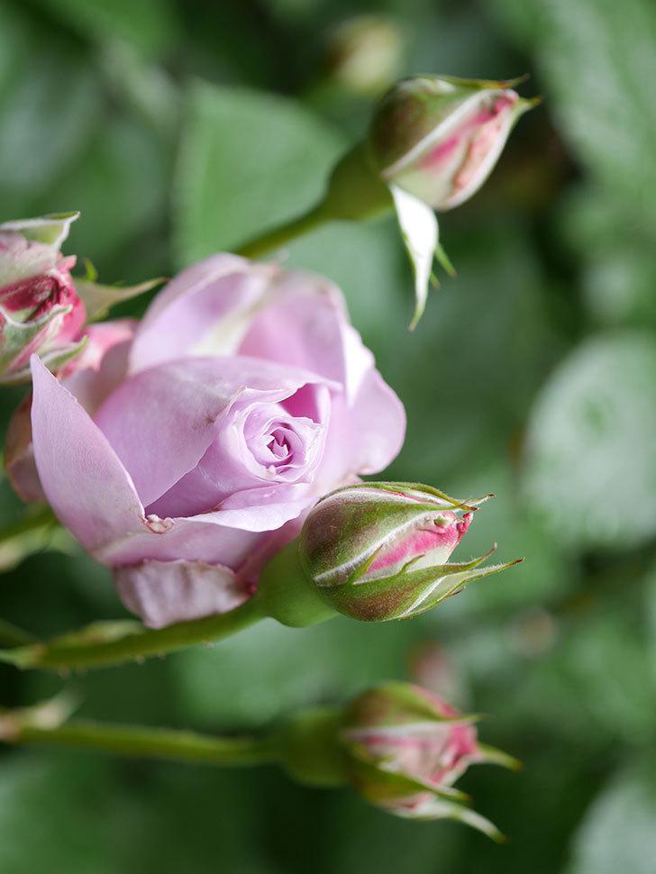 ノヴァーリス(Novalis)の花が少し咲いた。木立バラ。2021年-012.jpg